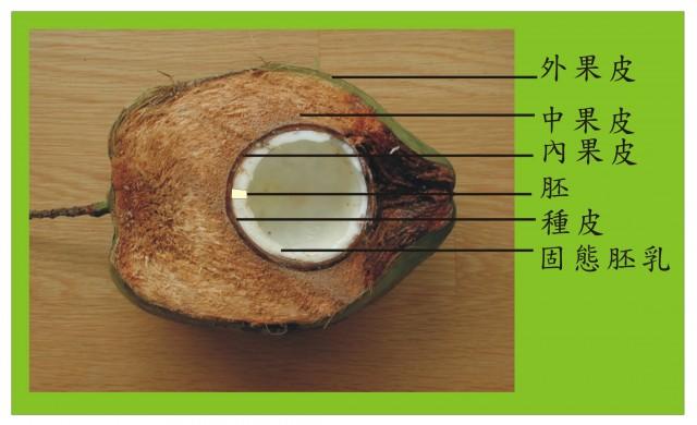 椰子解剖圖