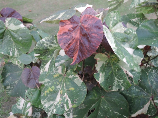 103黃槿比較-C01彩葉