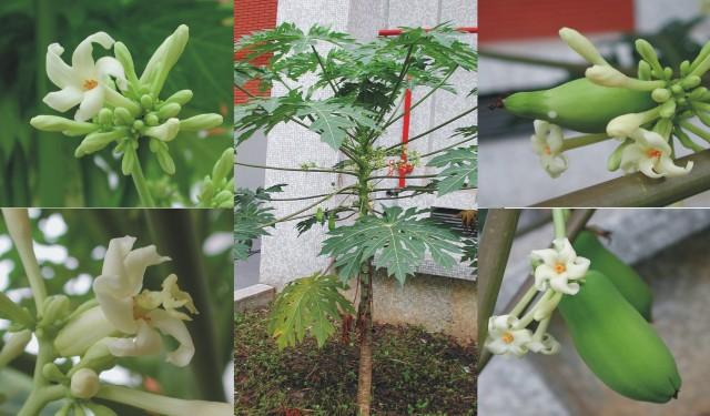 103番木瓜樹02