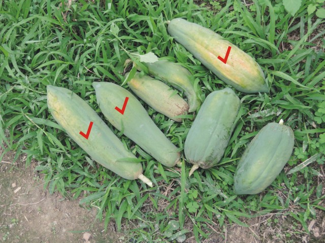 104番木瓜果-elongate type08