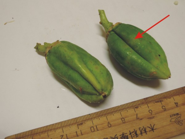 104番木瓜花與果A01b