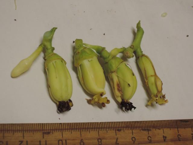104番木瓜花與果A15