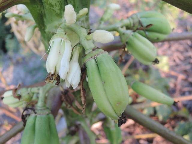 104番木瓜花與果A30