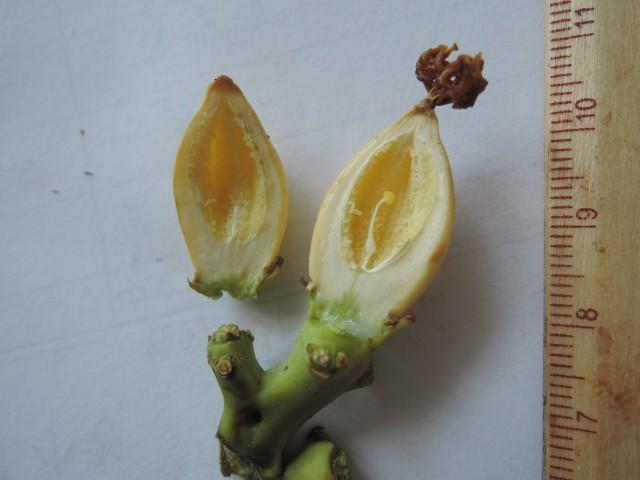 104番木瓜花與果B04