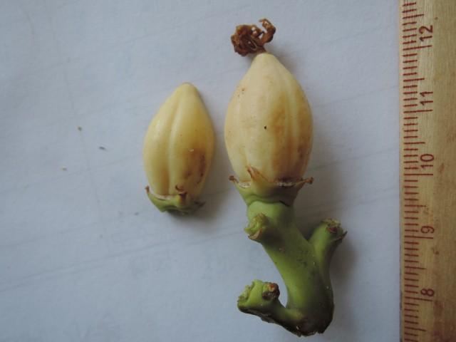 104番木瓜花與果B05
