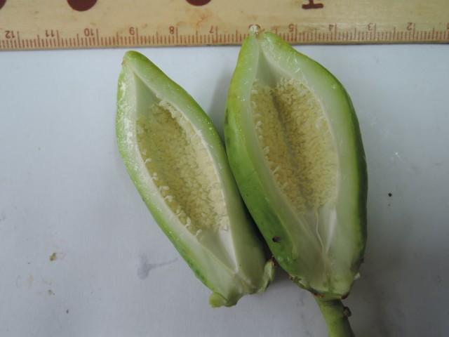 104番木瓜花與果C02