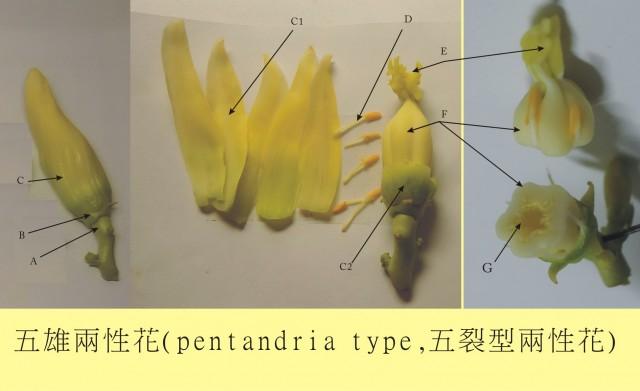 104番木瓜花-五雄兩性花10