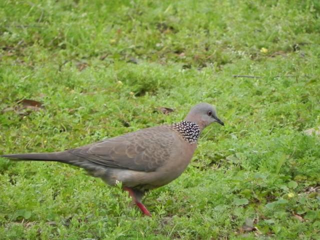 104B-珠頸斑鳩