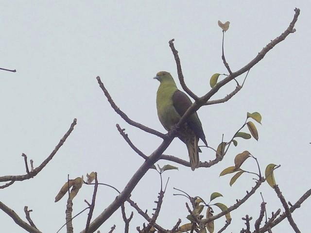 104B-紅頭綠鳩