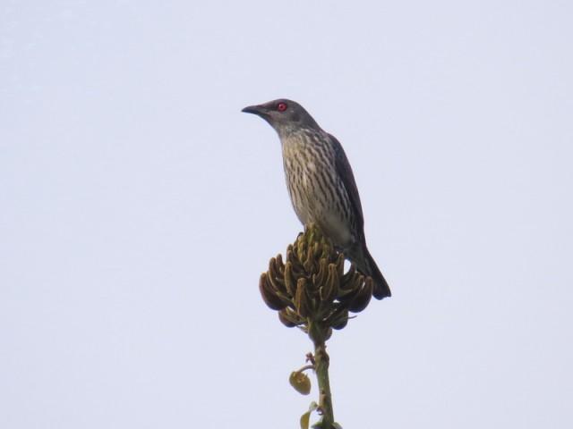 104B-菲律賓椋鳥