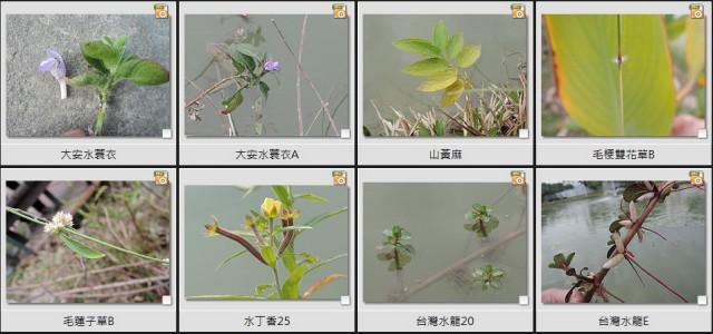 千禧公園水生植物A