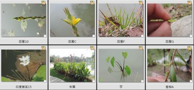 千禧公園水生植物B