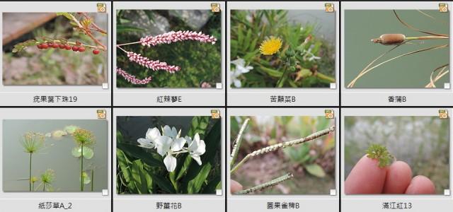 千禧公園水生植物C