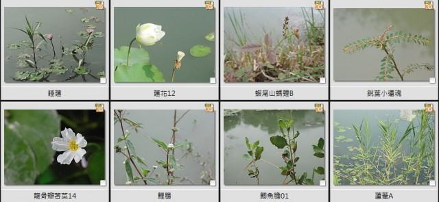 千禧公園水生植物D