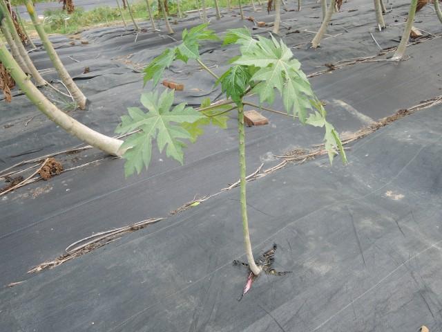 木瓜樹01