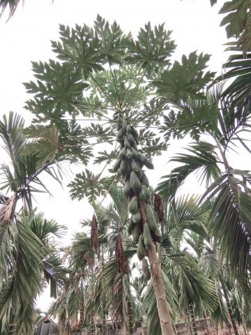 木瓜樹07