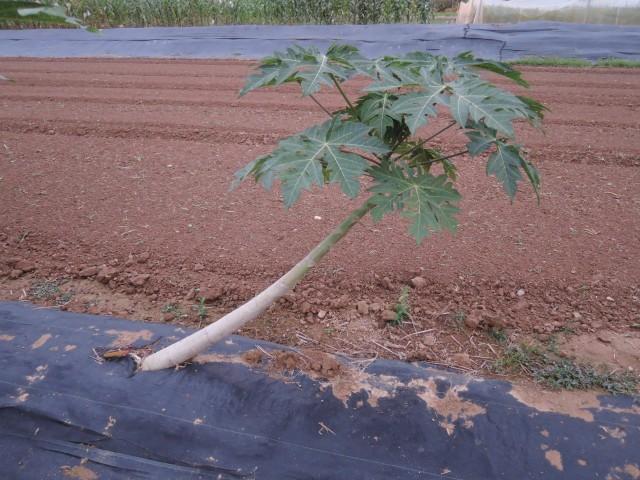 木瓜樹09
