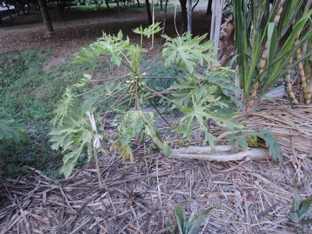 木瓜樹10