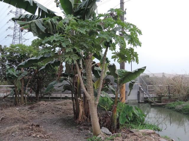 木瓜樹12