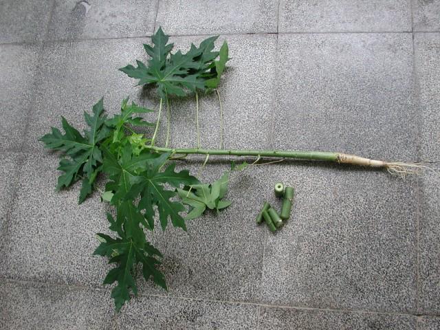 木瓜種子發芽與小苗14