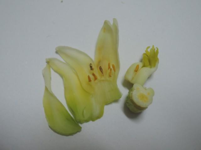雌化雄蕊兩性花A-05