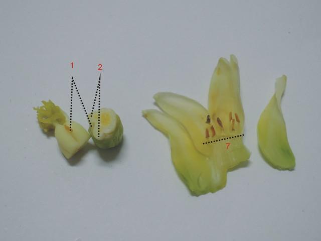 雌化雄蕊兩性花A-07