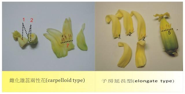 雌化雄蕊兩性花A-08