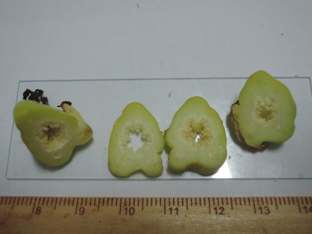 雌化雄蕊兩性花C-05