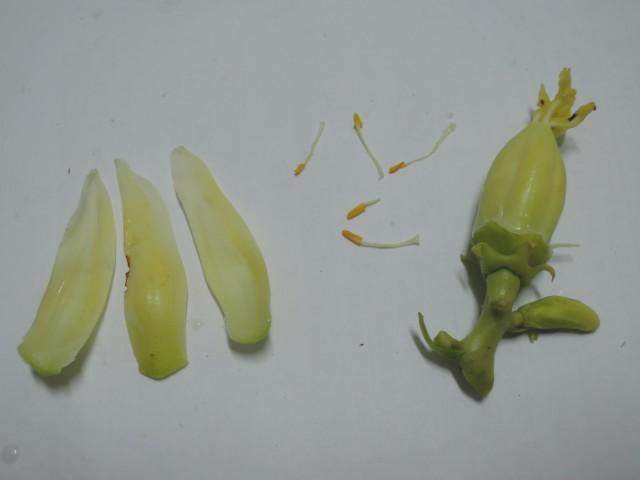 雌化雄蕊兩性花D-03