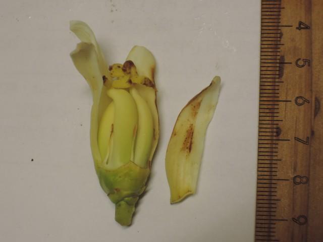 雌化雄蕊兩性花E-06