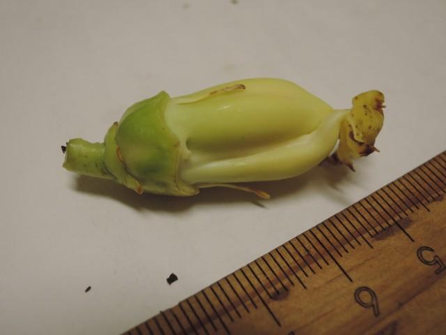 雌化雄蕊兩性花E-07