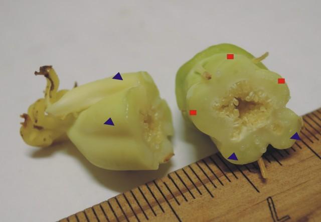 雌化雄蕊兩性花E-08b