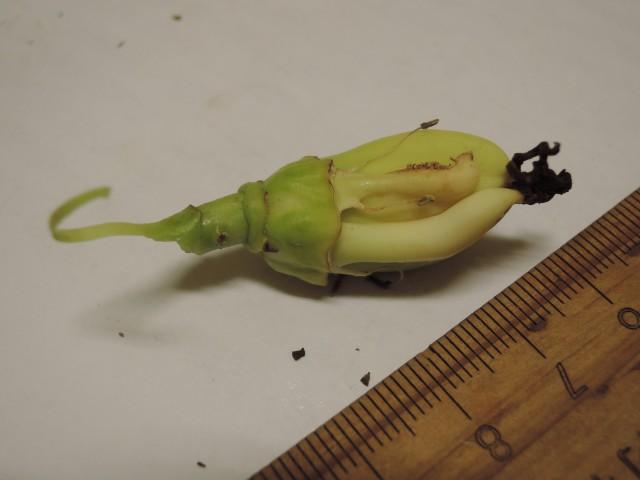 雌化雄蕊兩性花G-01