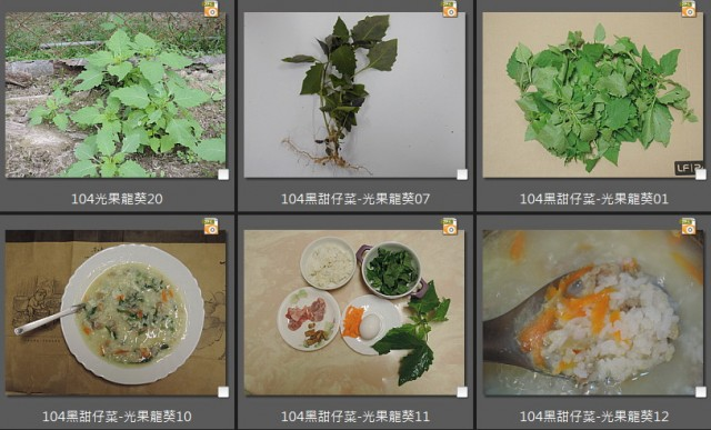 104光果龍葵F