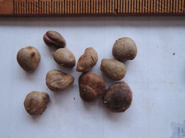 104樹葡萄種子11
