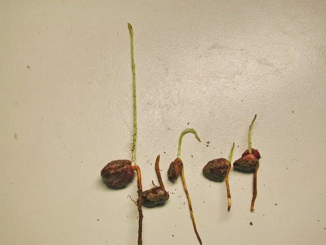 104樹葡萄種子14