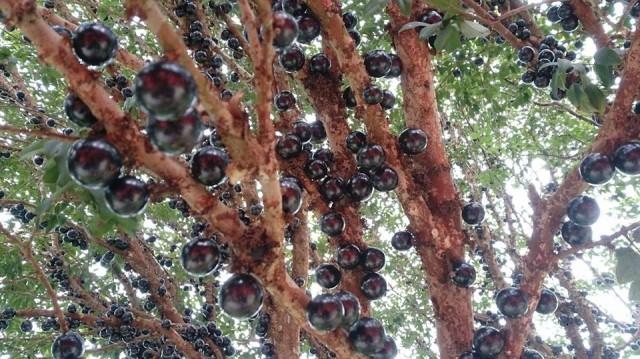 104樹葡萄開花結果30