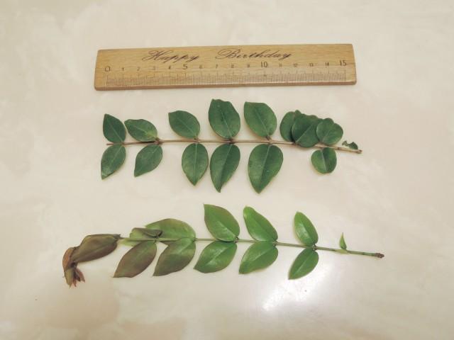 104樹葡萄-葉03