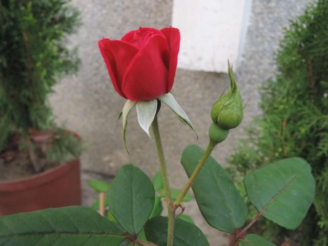 104玫瑰18