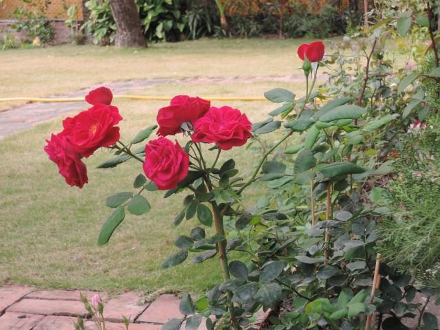 104玫瑰22