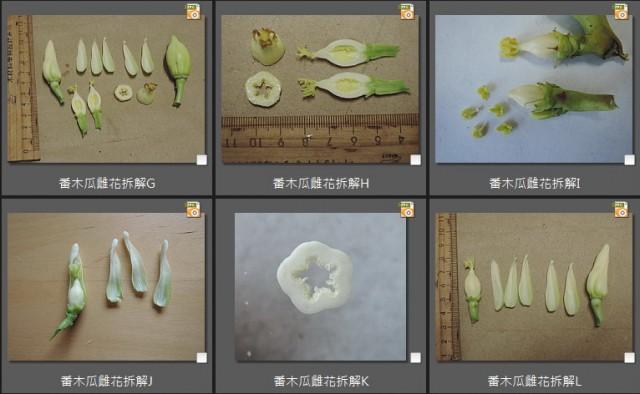 104番木瓜雌花(female)03