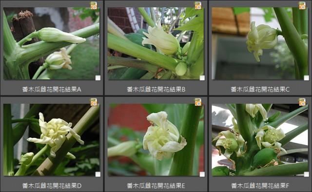104番木瓜雌花(female)10