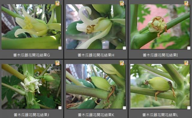 104番木瓜雌花(female)11
