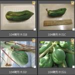 104番木瓜