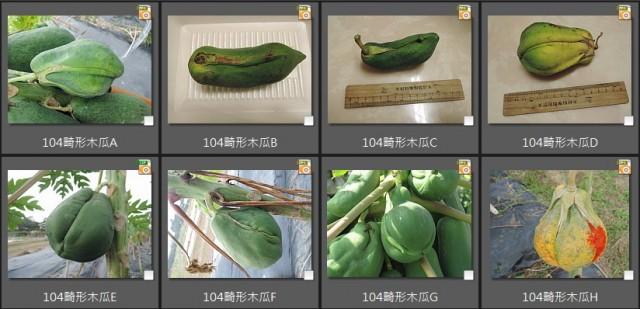 104畸形木瓜
