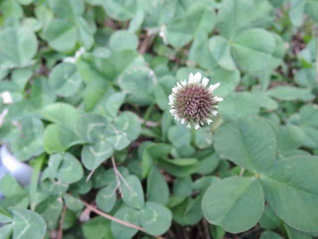 09白花三葉草