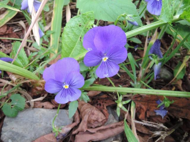 17香菫a--園藝花卉