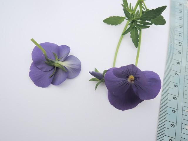 17香菫b--園藝花卉