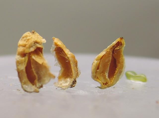 104台灣刺柏種子與油腺10