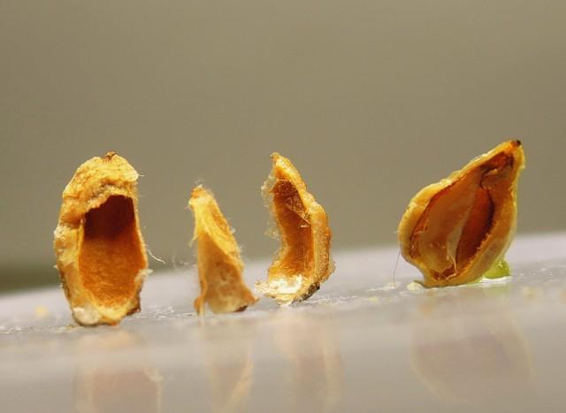 104台灣刺柏種子與油腺11